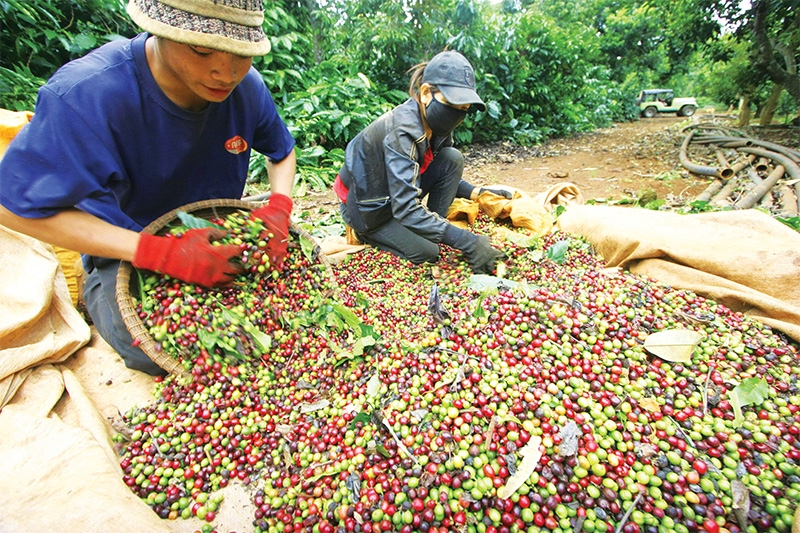 1524 p18 corralling coffee production towards higher sustainability